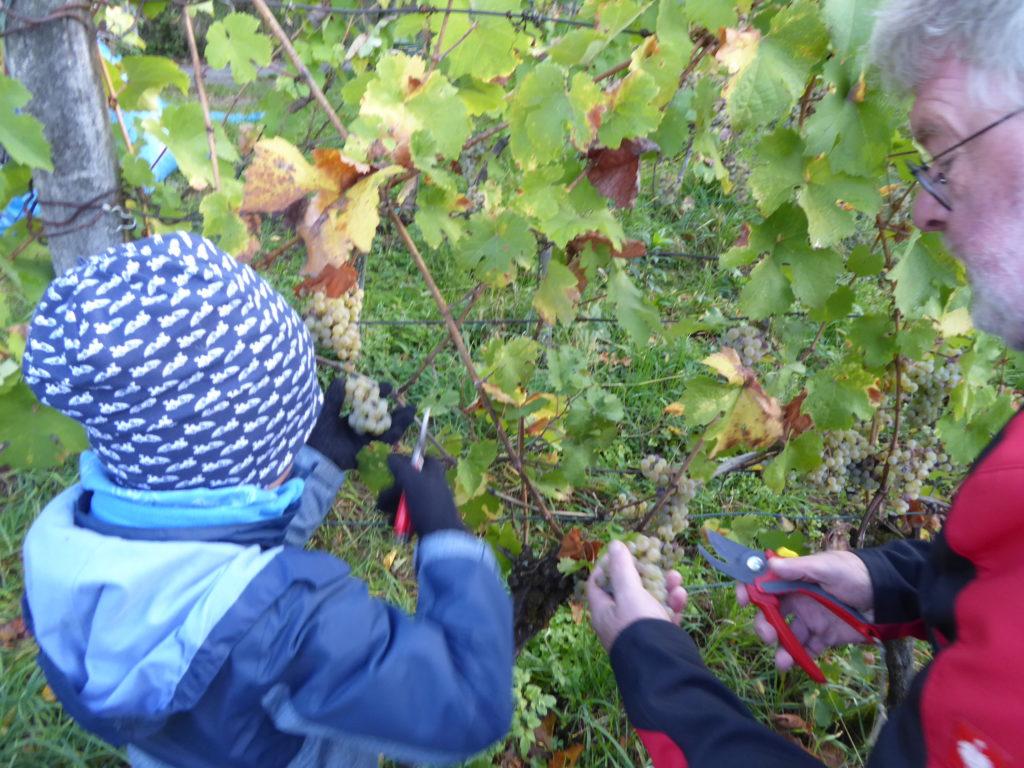 Herbsten des Rieslings